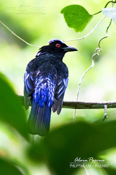 Philippine Fairy-bluebird Irena cyanogastra