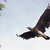 Grey-headed Fish-eagle Ichthyophaga ichthyaetus