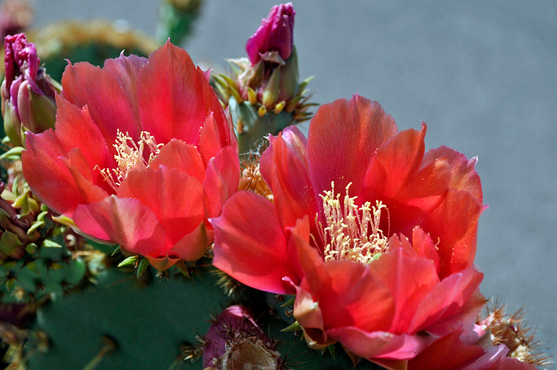 Red Prickley Pear Cactus Blossoms