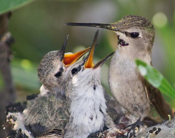 Gary Oakeson - HummingBird Feeding Time