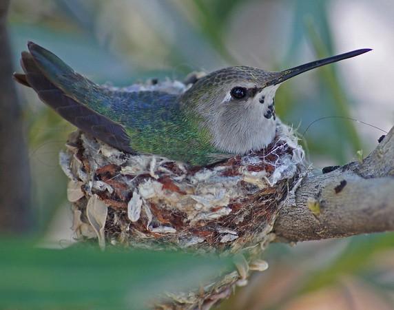 Gary Oakeson - Mother Hummingbird