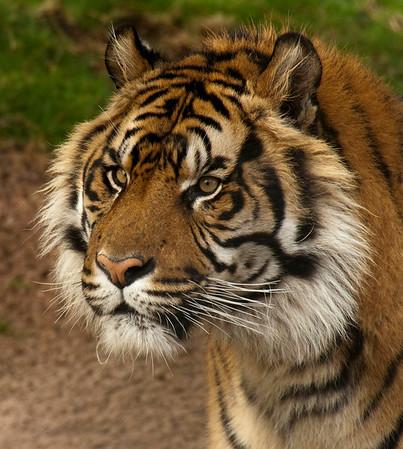 Claire Keyworth - Portrait of a Tiger