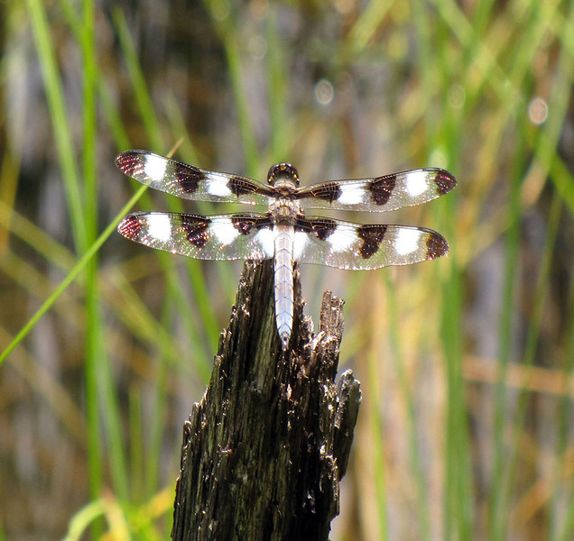 Tanya Peters_Dragonfly - Copy