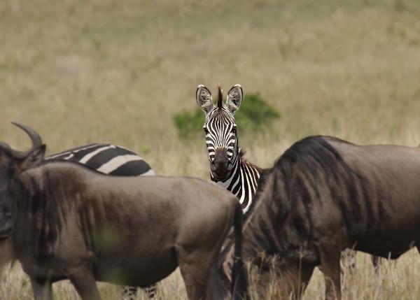 Becky Collman - Zebra  Kenya