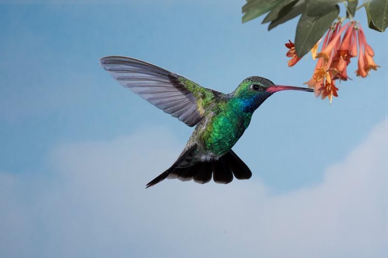 Becky Collman - Broad-Billed Hummingbird