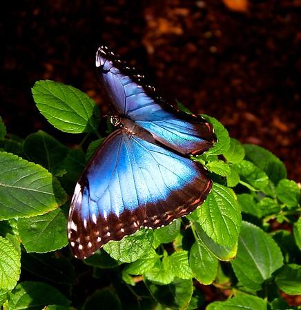 Carroll - Blue Beauty