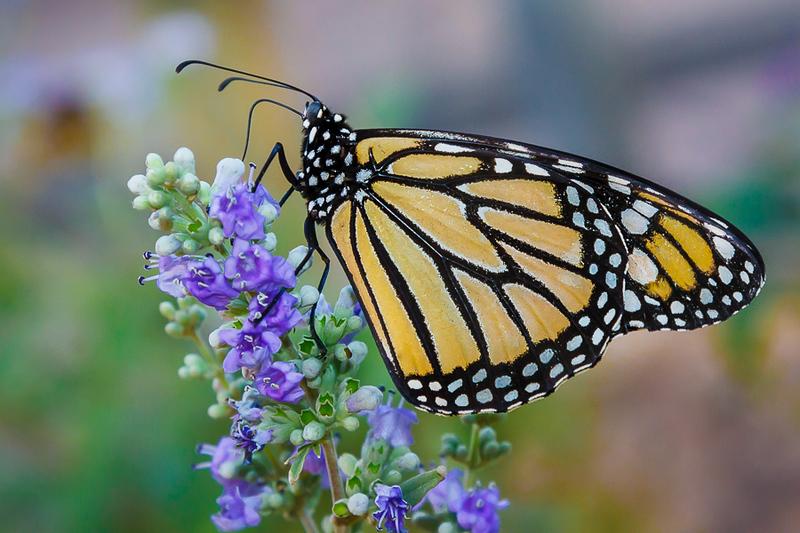 Barra - Monarch Butterfly