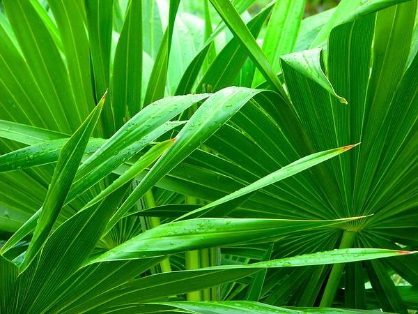 Carroll - Original Peek a boo Palm