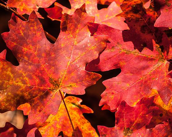 Barra_Autumn_Leaves