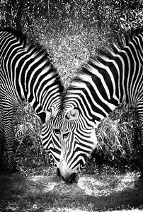 Carroll_-_Zebras