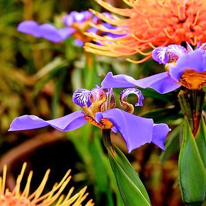 Carroll_-_Hawaiian_Iris