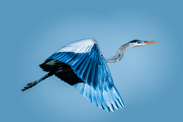 Barra - Blue Heron Illustration 1