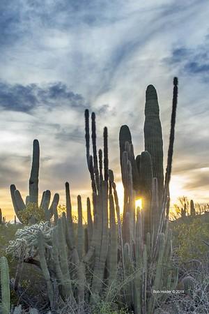 Holder cactus sunset
