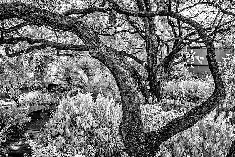 Isenberg -  _DSC4391__Tucson Bot Garden Infrared__February 15, 2017-Edit