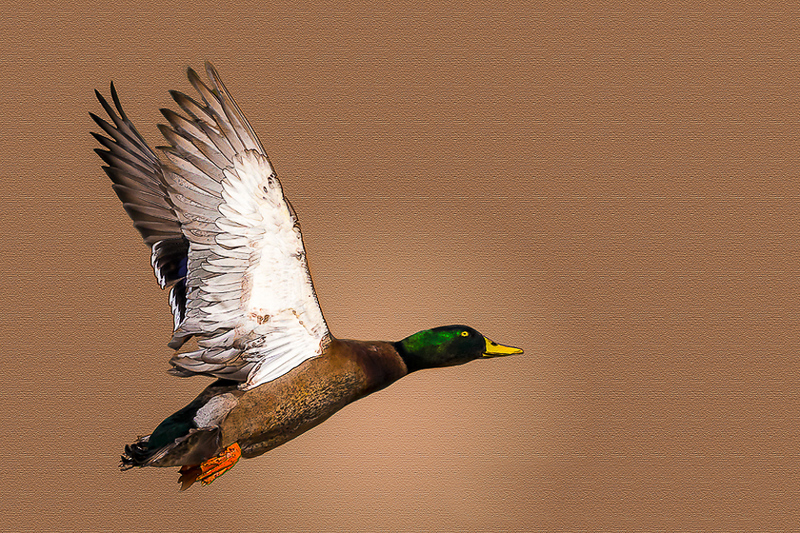 J Barra - Mallard Duck 2-2