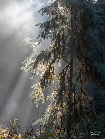 B Downing_Misty morning redwoods