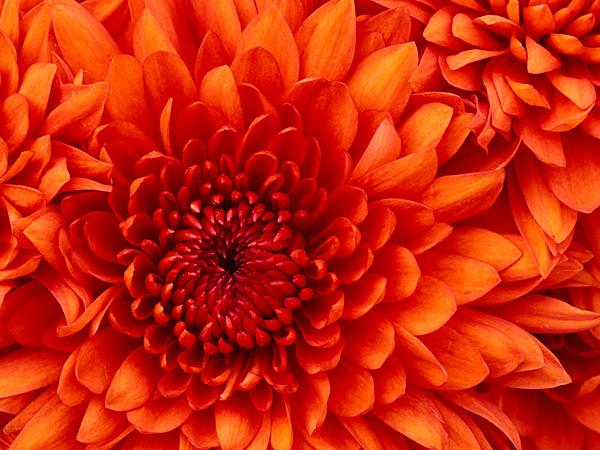 B Downs_Chrysanthemum