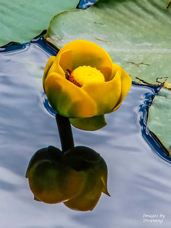 P Downing_Pond Lily Reflection