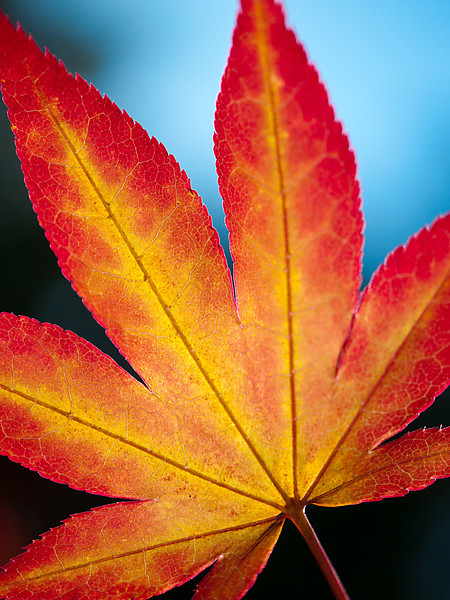Maple Leaf in Autumn, Boxboro, MA