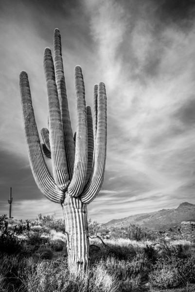 Cactus at Cave Creek