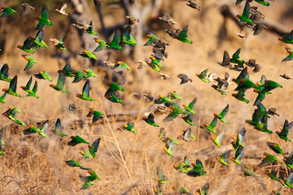 Flight of the  Lovebirds - South Luangwa National Park, Zambia. The Africa Lovebirds are always on the move if you get close. We got to see plenty of lovebird clouds as we got to call them.