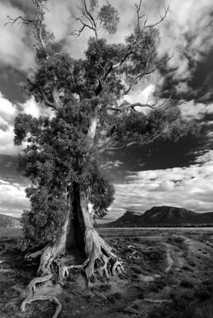 Cazneaux's Tree - Wilpena Pound, South Australia. A famous gum tree photographed a long time ago by Harold Cazneaux.