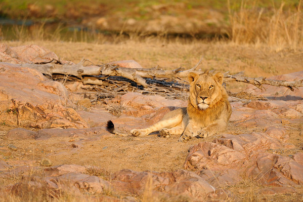 King of the Jungle - Kruger National Park, South Africa. This male lion had just chased some antelopes ad decided to have a rest and look us over.