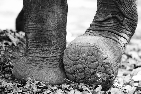 Going Softly - South Luangwa National Park, Zambia. Elephant feet are amazing. You have these majestic animals walking close to you and with these feet, sometimes you can hardly hear them.