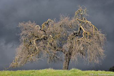 Oak in Storm #1