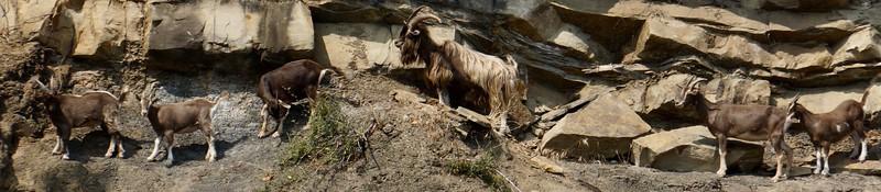 Goat Family Portrait : Parallel 48.772