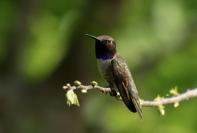 Black-chinned Hummingbird on Guard