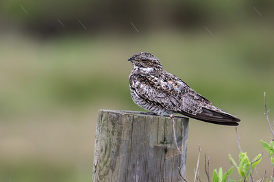 Nighthawk in the Rain