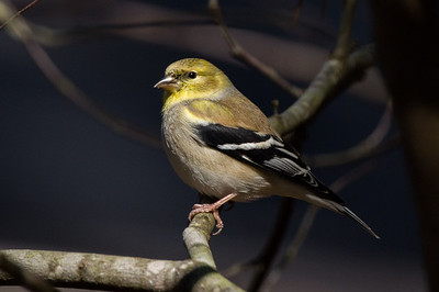 Winter Goldfinch