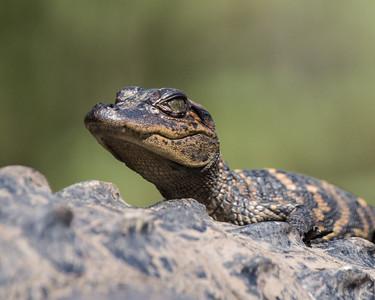 Baby Gator #1 Portrait