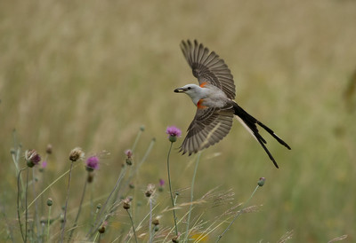 Scissor-tailed Flycatcher Over the Thistle