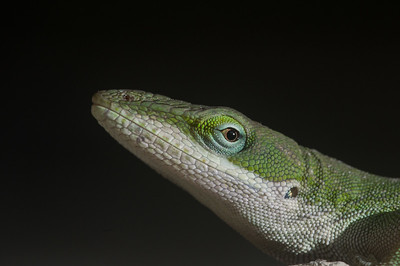 Green Anole Portrait