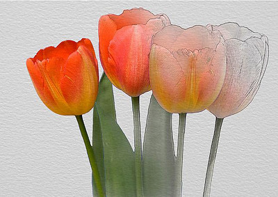 Highly Commended - Steven Harrison - Tulips, Photo, Painting or Sketch?