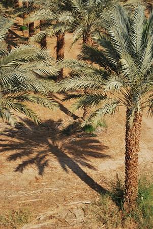 Tree Shadows - Samar Date Plantation (c) Daniel Yoffee