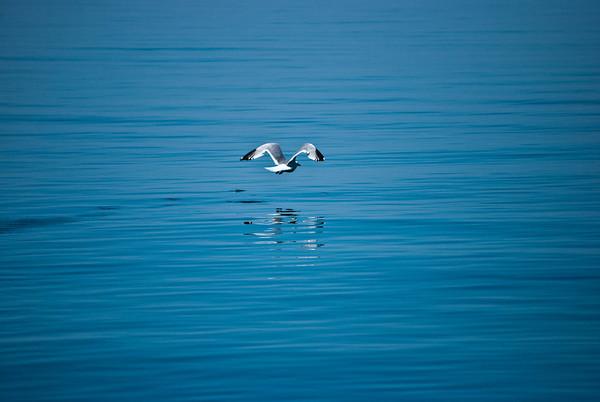 Soaring Gull (c) Daniel Yoffee