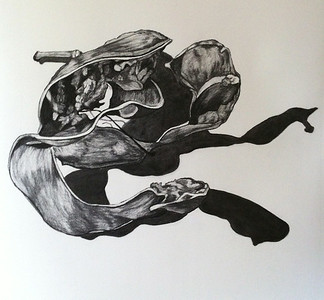 Seed Pod & Shadow #2, charcoal on paper 52 x52 cm (mel)