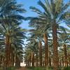 Date Plantation, Kibbutz Samar, Samar Israel (c) Daniel Yoffee Photography