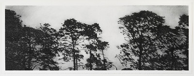 Winchelsea Pines, charcoal on paper, diptych image 52 x148cm $6,500