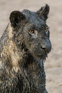 Muddy Lion