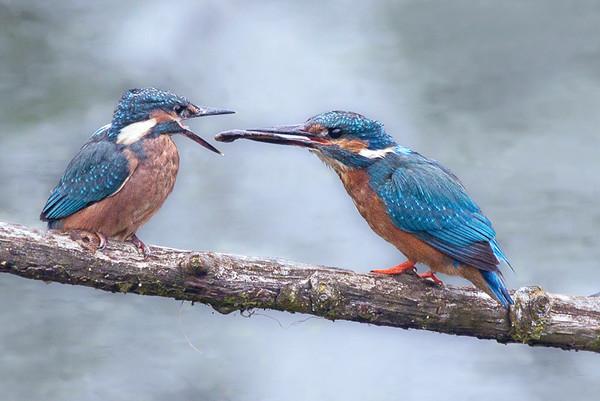 kingfisher fledgling