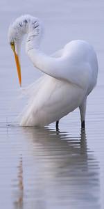 Great Egret preening WB_10x20