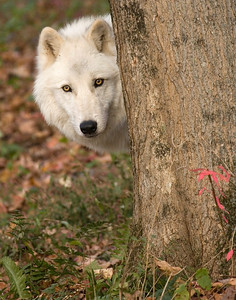 4360_Atka-WCC behind the tree printed 11x14