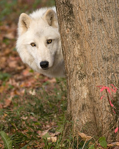 4360_Atka-WCC behind the tree printed 16x20