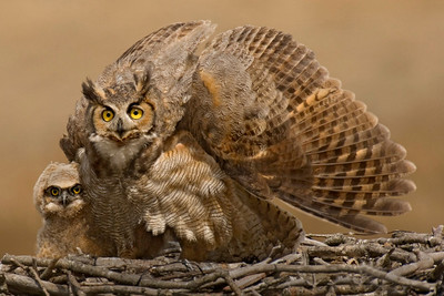9609-great horned owl wing up with chick printed 6x4