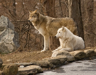 2 wolves-9577