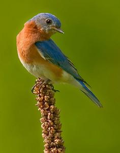 CRW_5902B blue bird slide
